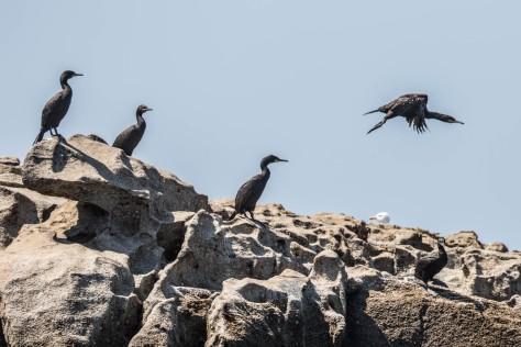 cormoranes-6595