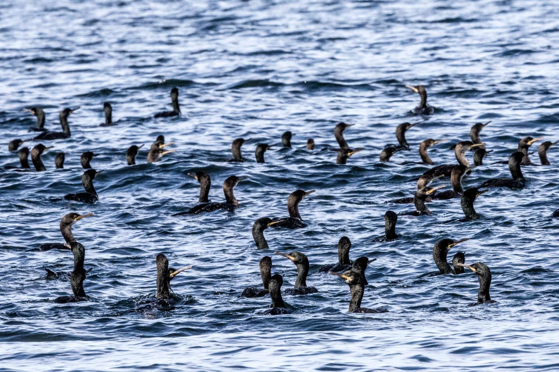 cormoranes-6831