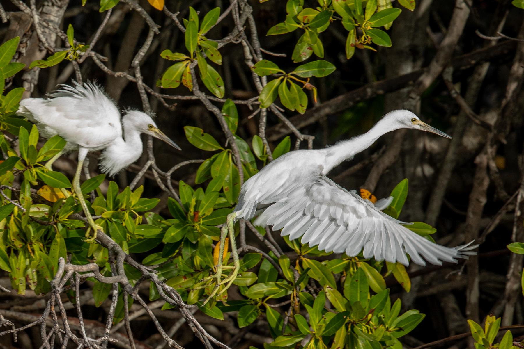 Mangroves-Bird-1858