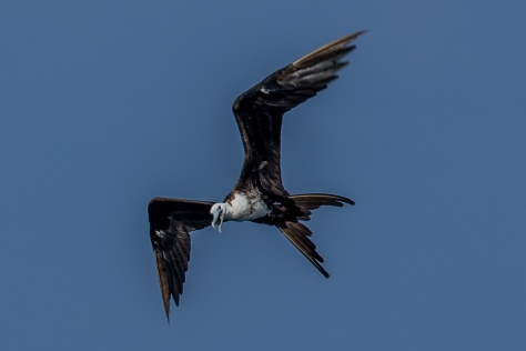 Frigatebird-2605