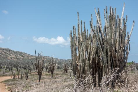 lizards cactus-09410