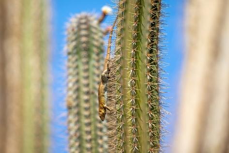 lizards cactus-2857