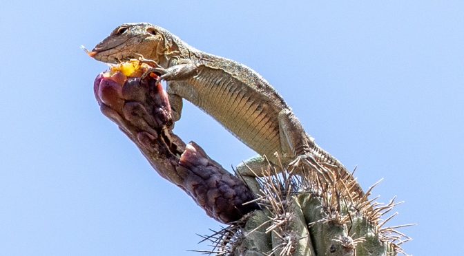 Hungry Lizards on Cactus