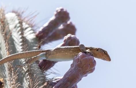 lizards cactus-2955