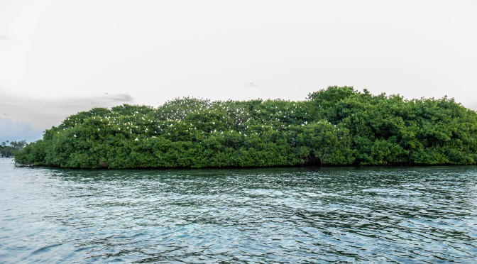 Mangrove Island with White Herons