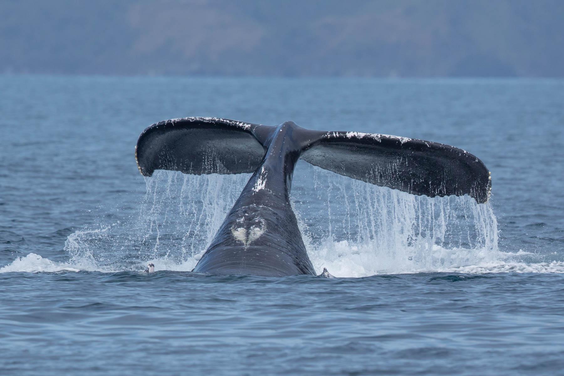 humpback wales-3917