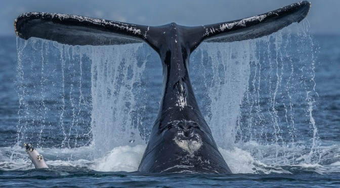 Humpback whales slap their tails