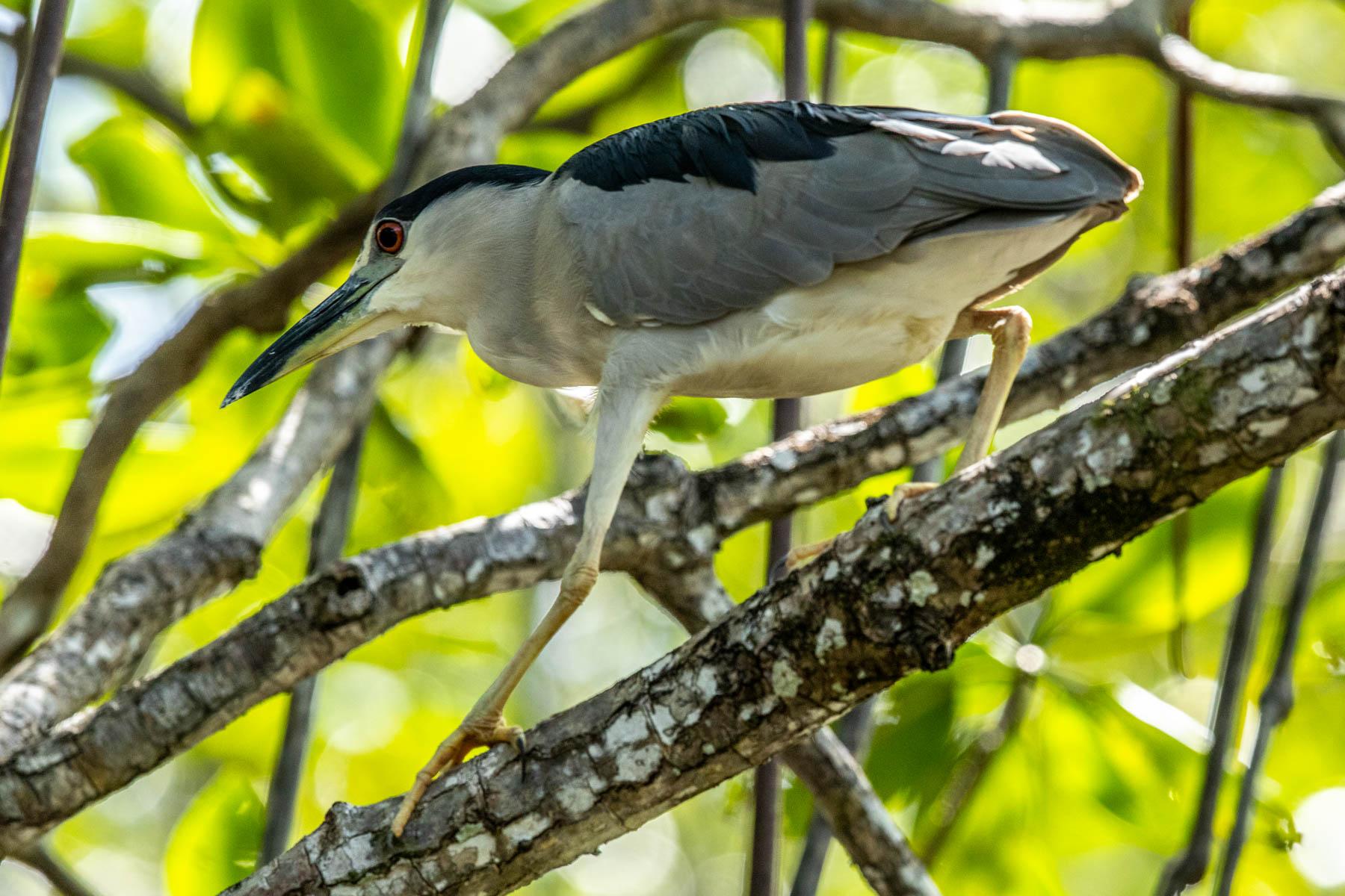 mangrove heron fish-2006