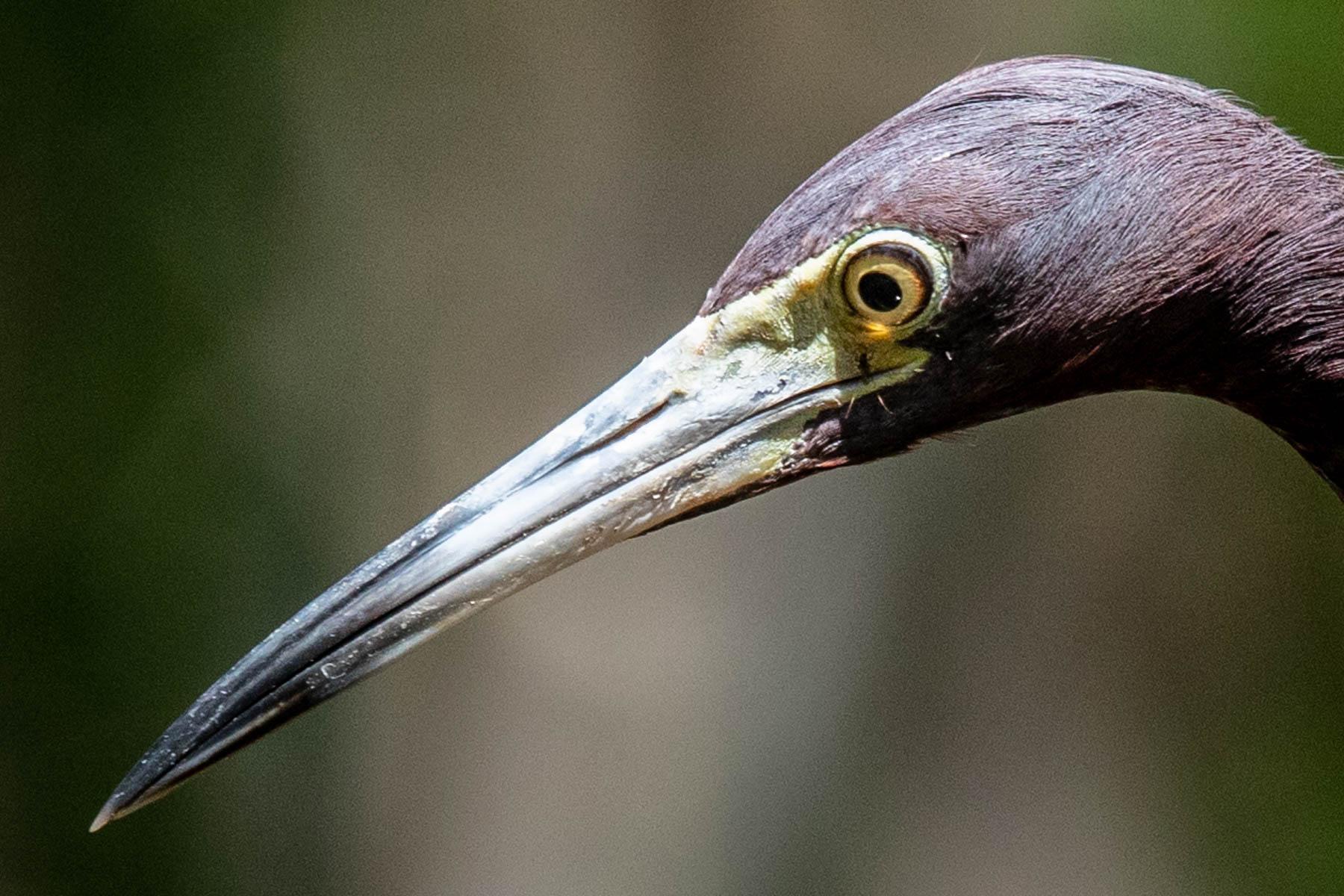 mangrove heron fish-2046