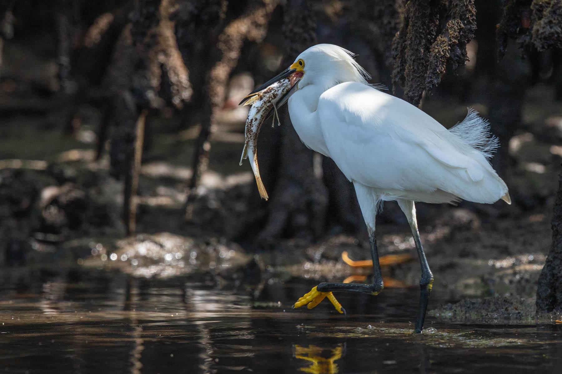 mangrove heron fish-2129