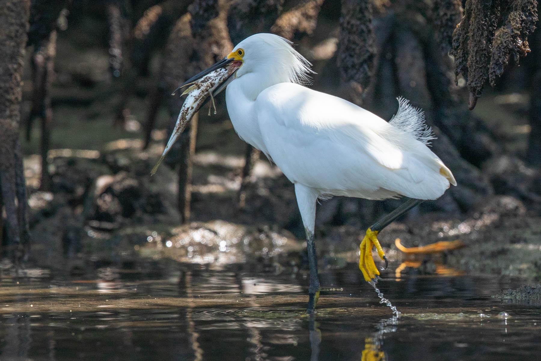 mangrove heron fish-2132