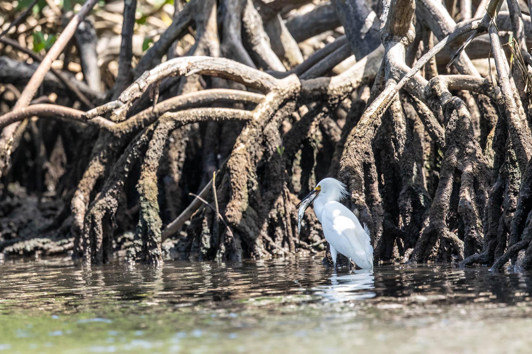 mangrove heron fish-2174