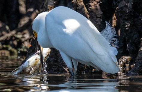 mangrove heron fish-2180