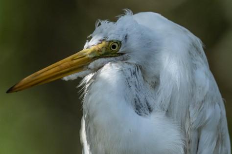 mangrove heron fish-2261